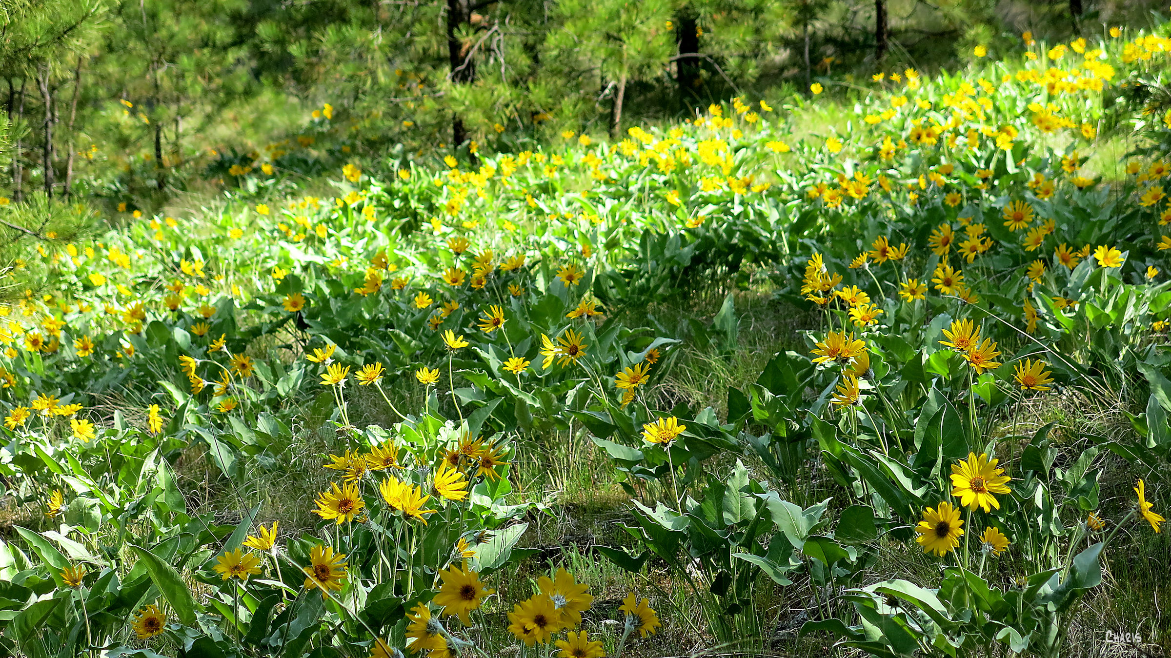 sunflower slope ch rs IMG_7507