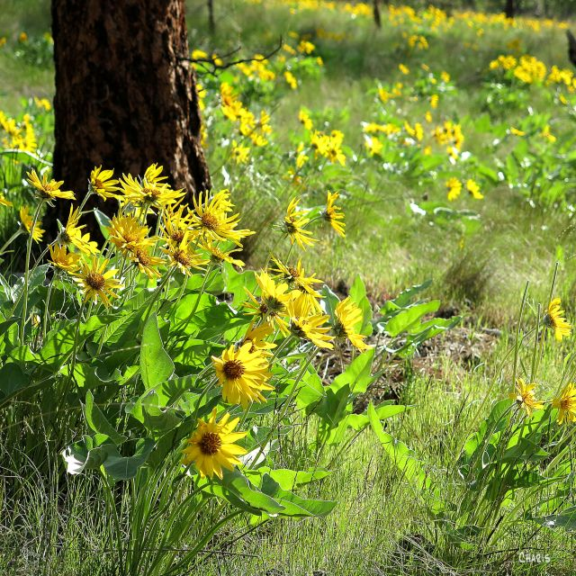 sunflower sq kelowna ch rs IMG_7514