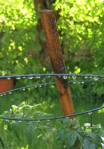 tomato cage 1 IMG_7902