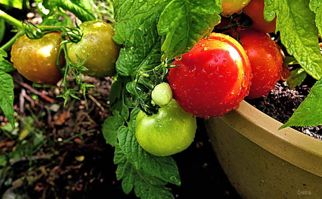 tomato garden ch rs IMG_4137