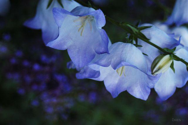 blue bells rs ch DSC_0176