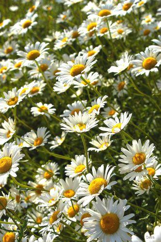 DSC_0007 daisies pick me ch rs