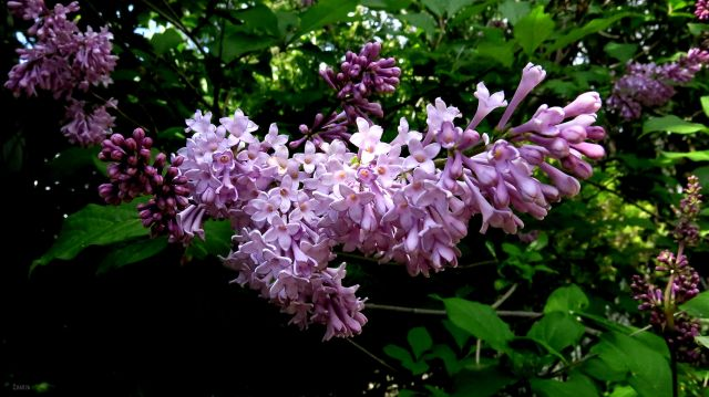 lilacs ch rs IMG_8055