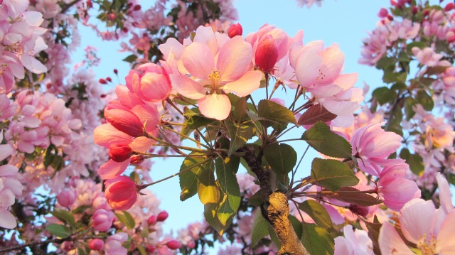 plum blossom fan 1 IMG_6799