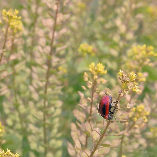 red beetle IMG_7990
