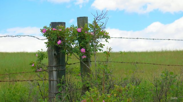 roses fence post ch rs IMG_8151