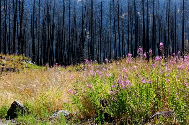 fireweed black forest ch rs IMG_8522
