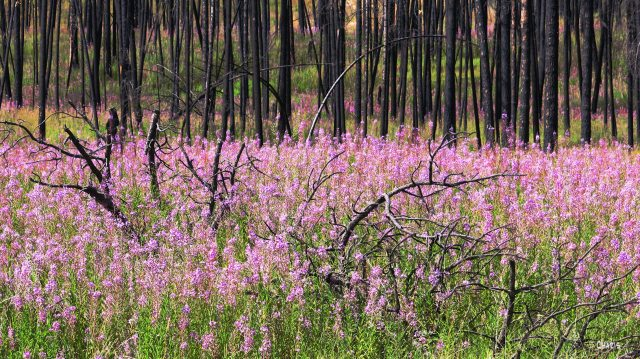 fireweed forest 2 ch rs IMG_8542