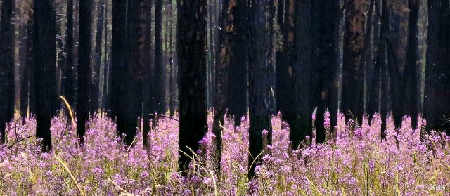 fireweed forest 5 ch rs IMG_8546