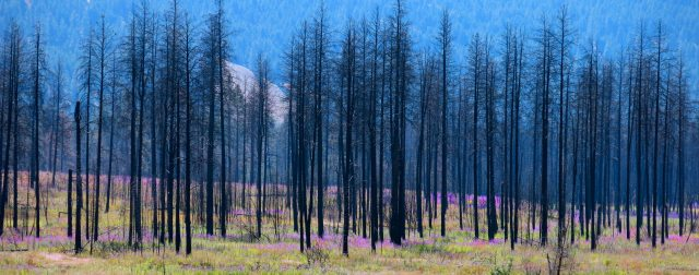 fireweed horizontal forest fire
