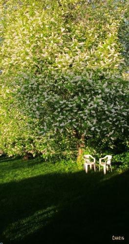 May tree before IMG_6523