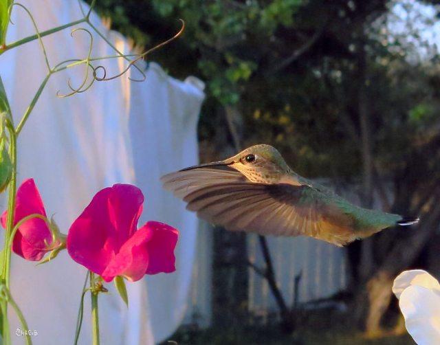 hummingbird sweet peas sq ch crop MG_9539