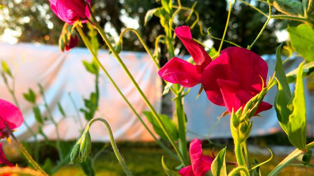 sweetpea clothesline ch rs IMG_9529