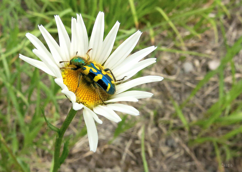 bug on daisy ch IMG_8003