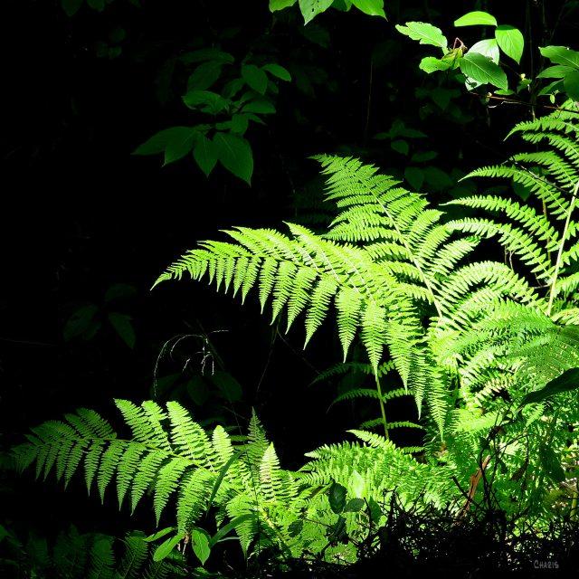 ferns woods ch sq IMG_9559