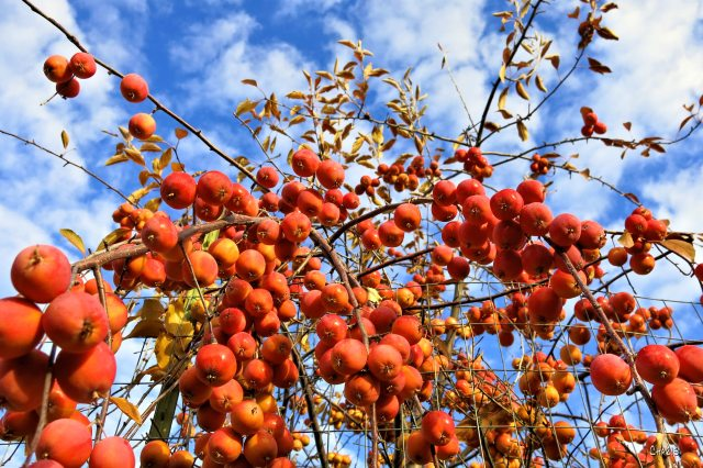 crab apples IMG_2355
