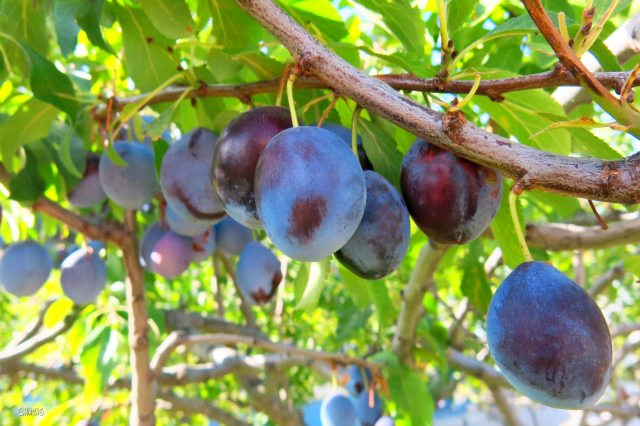 plums ch rs IMG_0188