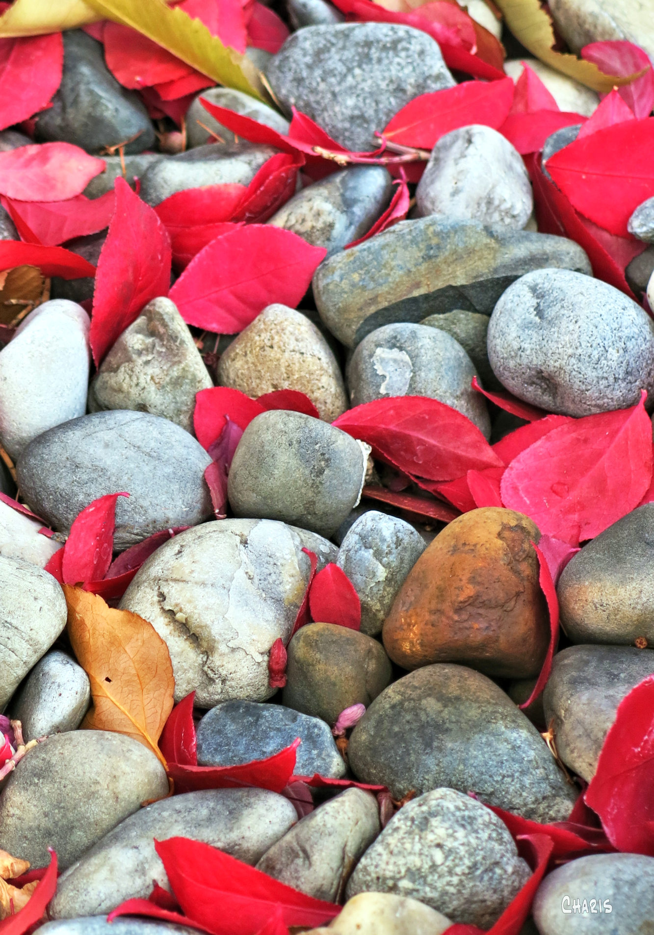 raround the block ch rs red leaves stones IMG_1582