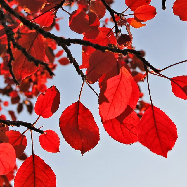 red leaves ch IMG_0605