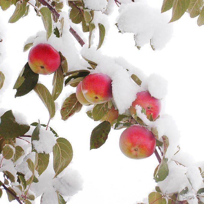 snow apples ch 1