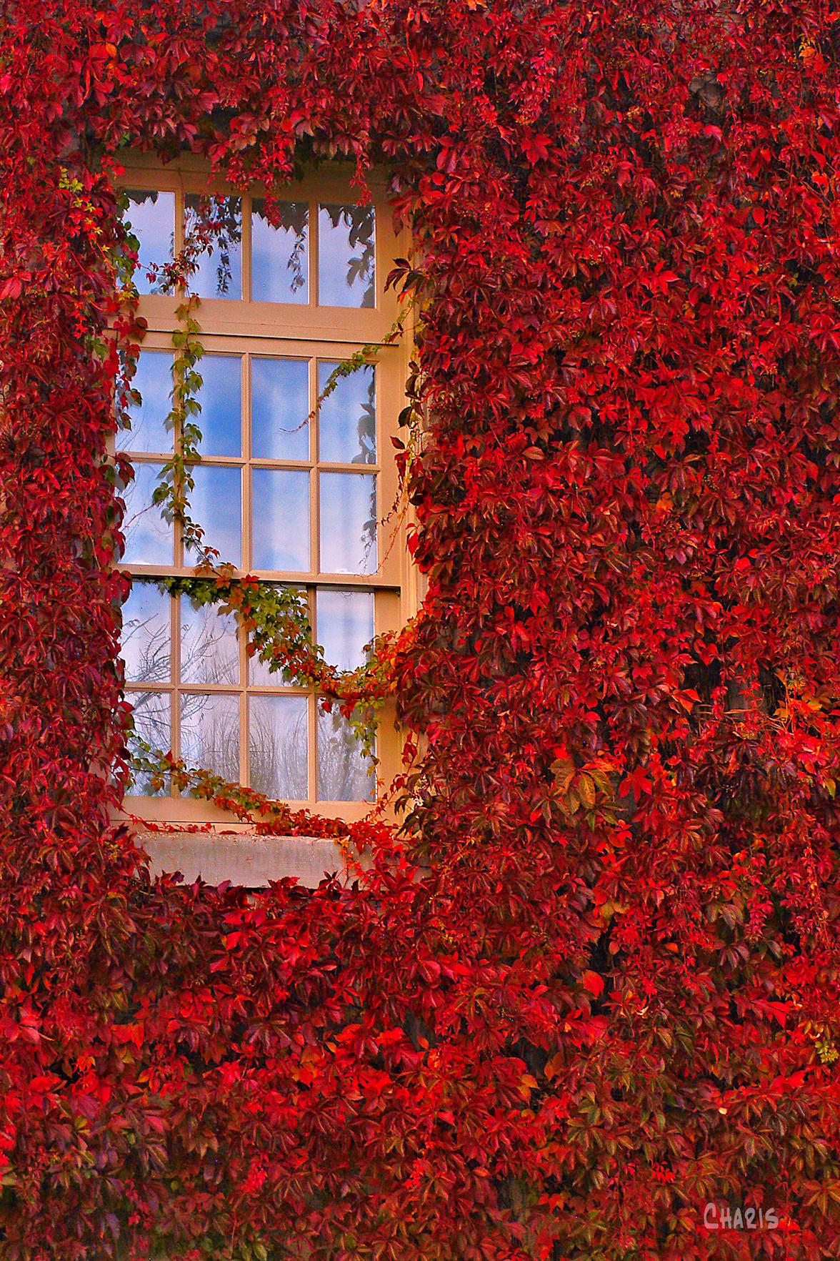 Mission window autumn virginai creeper vine ch rs bright DSC_0292