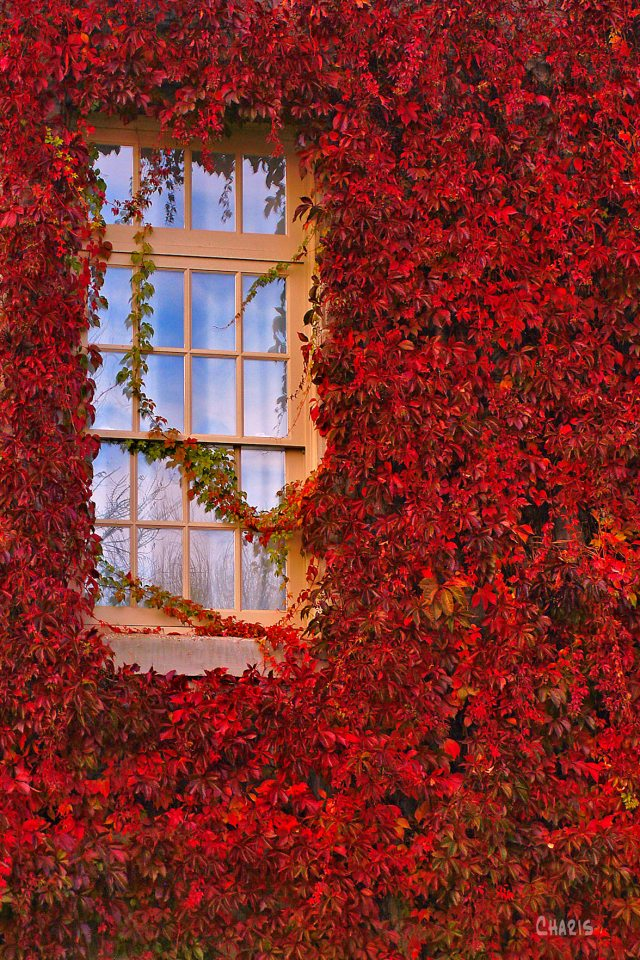 Mission window autumn virginai creeper vine ch rs bright DSC_0292