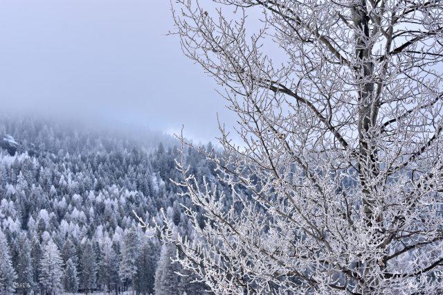 frost tree ch rs DSC_0489 (1)