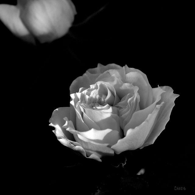 sq bw rose ch DSC_0109 (1)