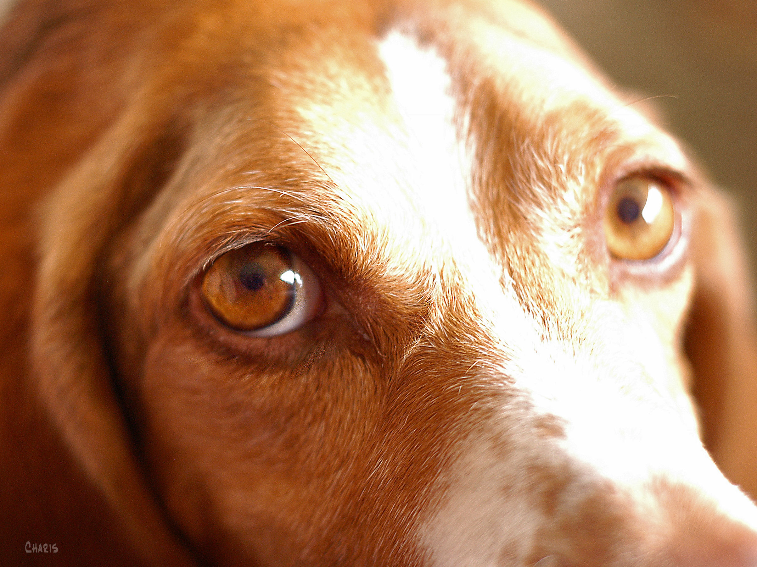 dog Cooper eye ch DSC_0104