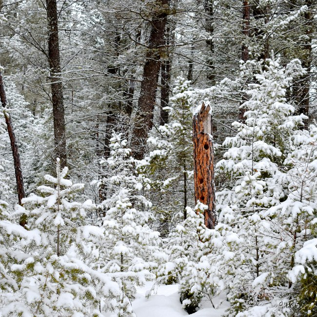 forest snow winter hollow tree ch sq DSC_0003