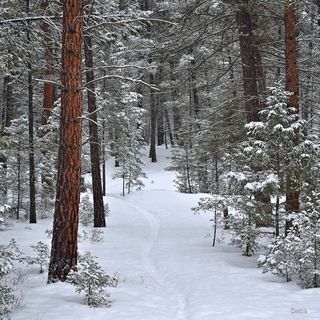 narrow path forest winter snow ch sq DSC_0088