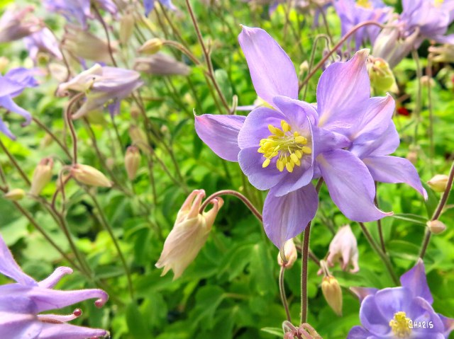columbine purple flowers ch rs IMG_3988