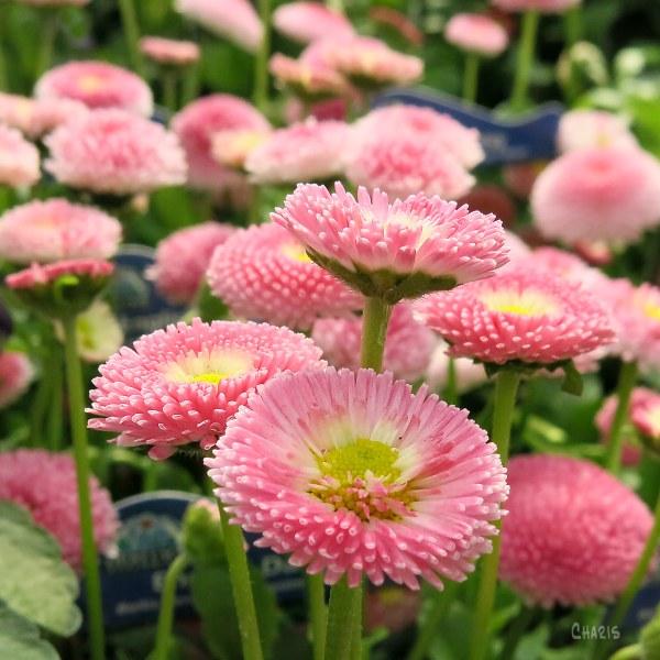 English daisy pink ch sq IMG_4031
