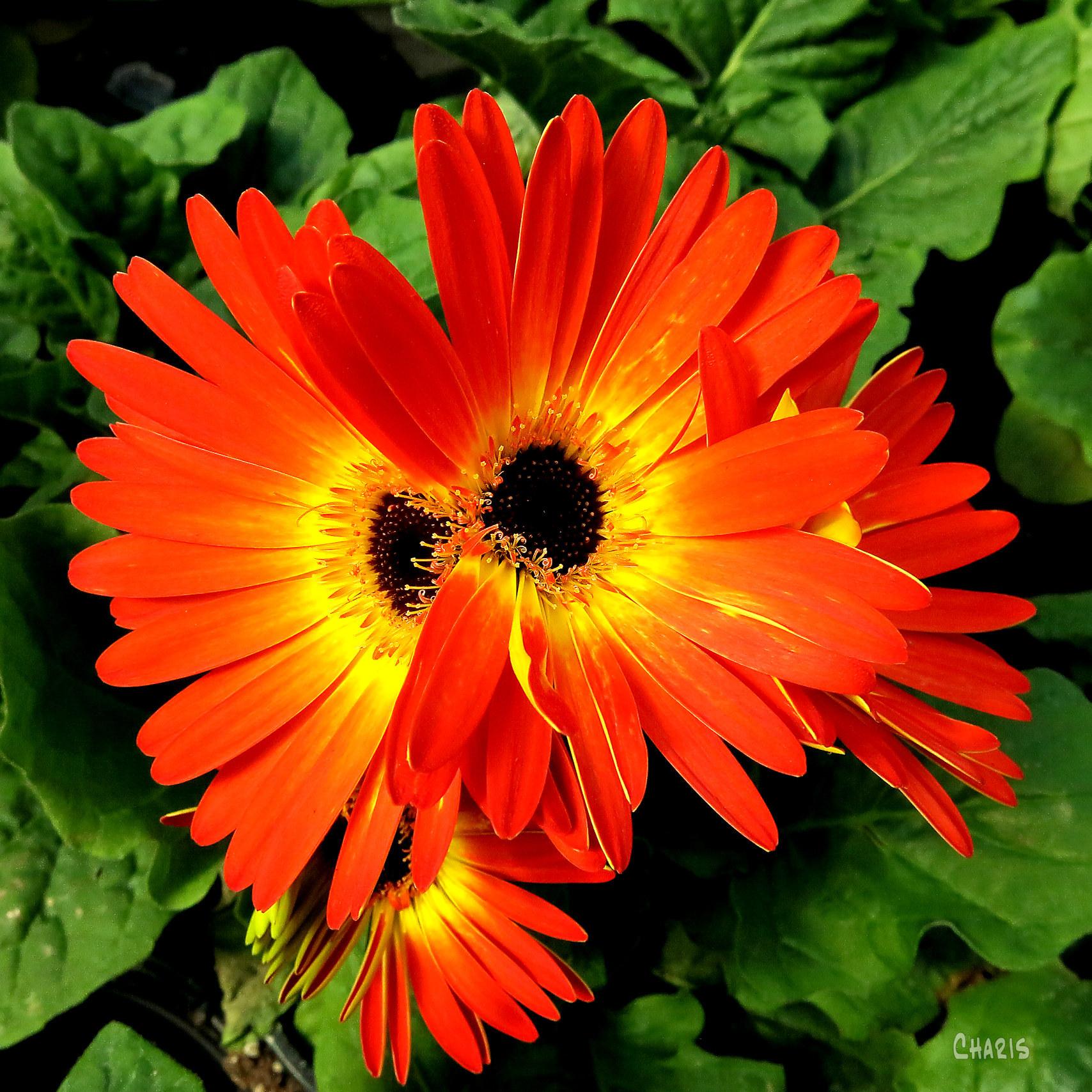 orange gerbera sq flowers ch rs IMG_3959