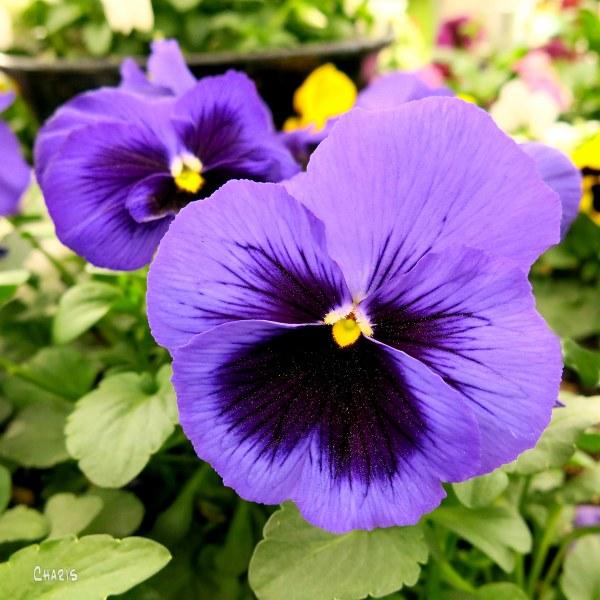 pansy purple ch IMG_3939