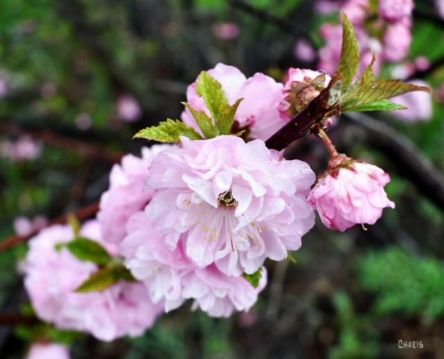 alomond blosson pink diagonal ch crop 2 DSC_0006