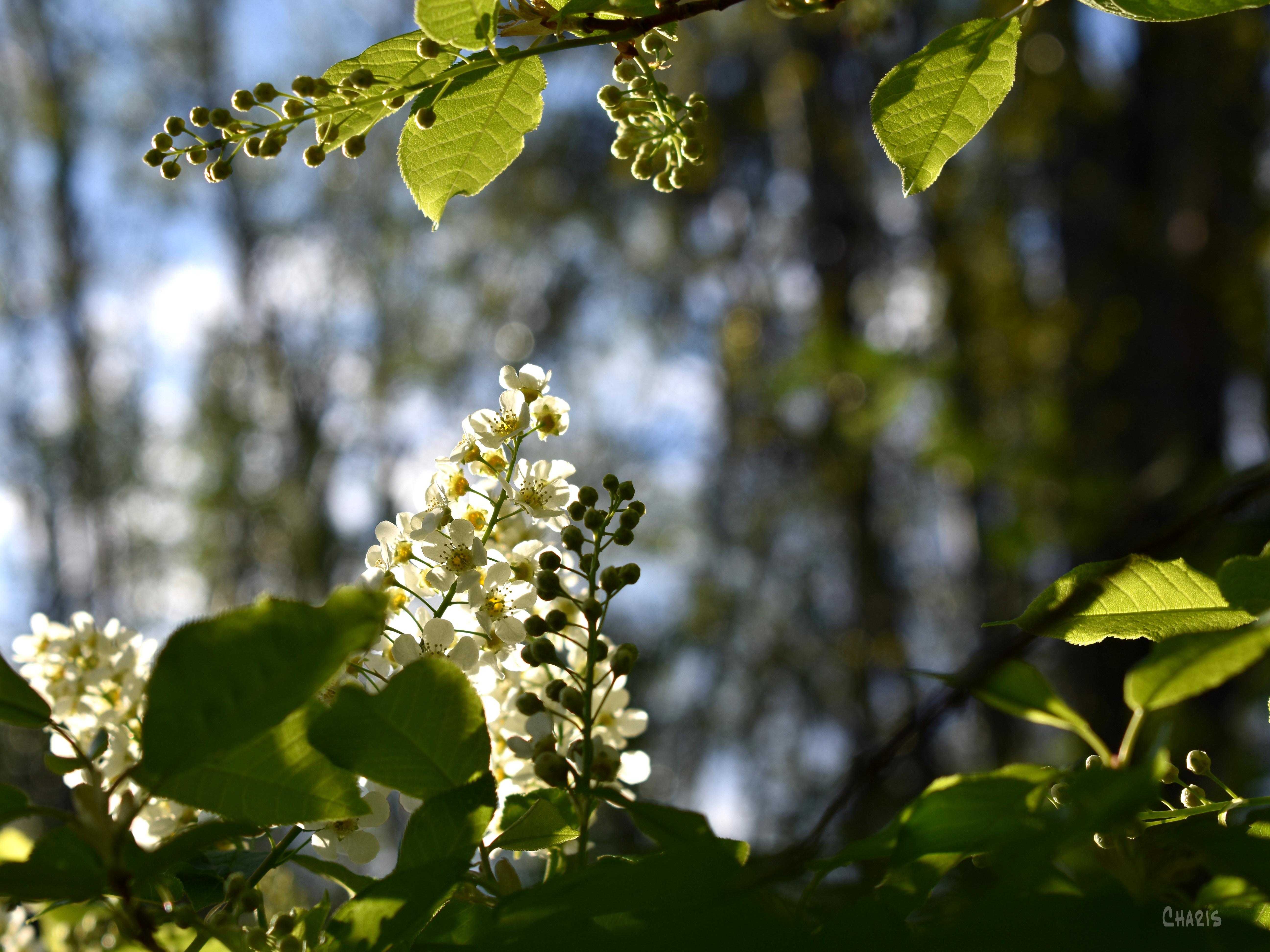 may tree backlit ch crop DSC_0039 (2)