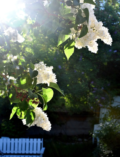 morning light white lilacs ch DSC_0036