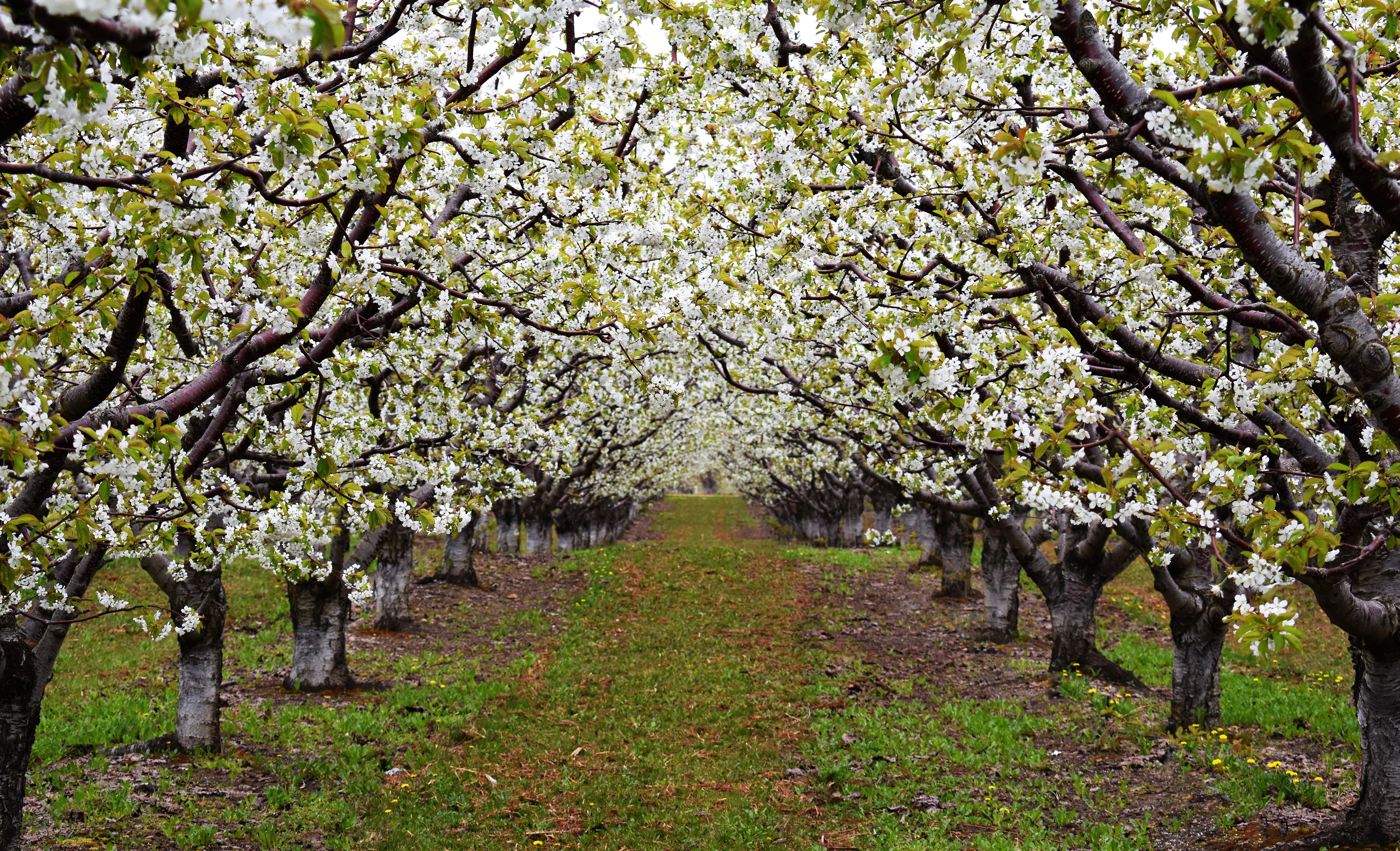 orchard blooms DSC_0164