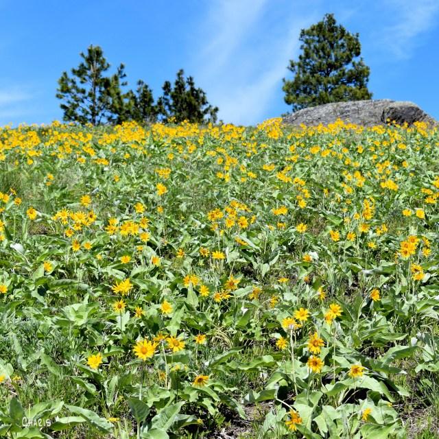 sunflower hill sq ch DSC_0280