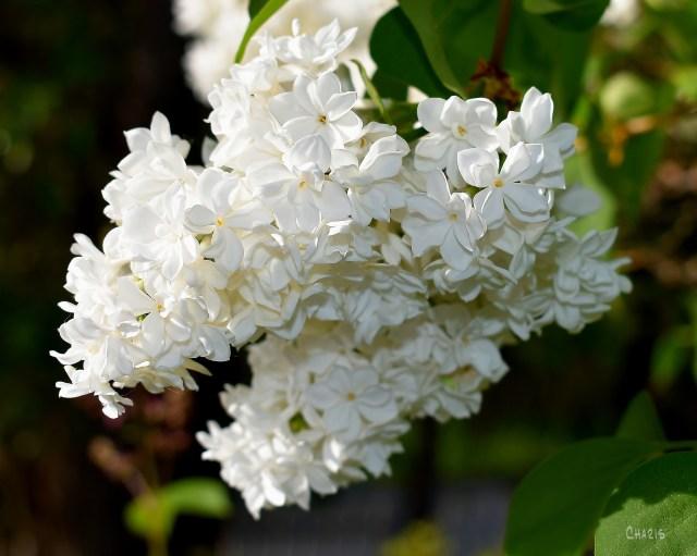 ilacs white crop ch DSC_0004