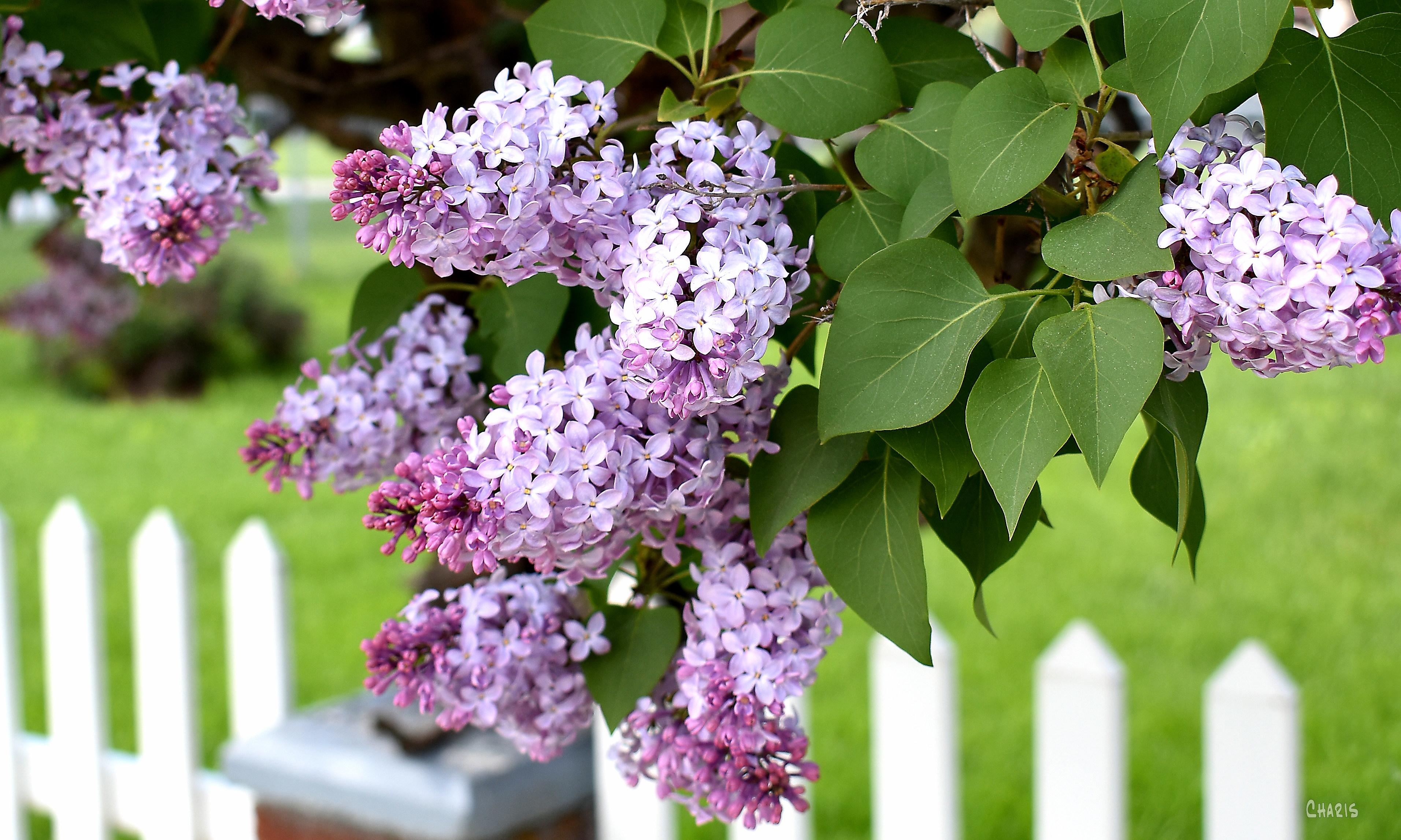 lilac fence crop ch DSC_0025