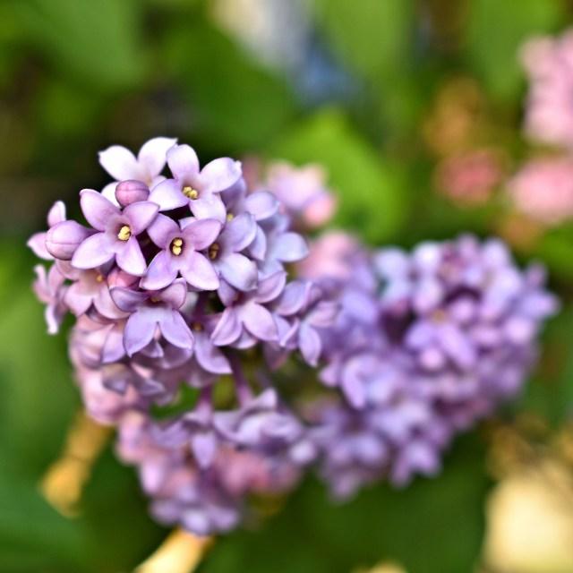 lilac heart DSC_0035