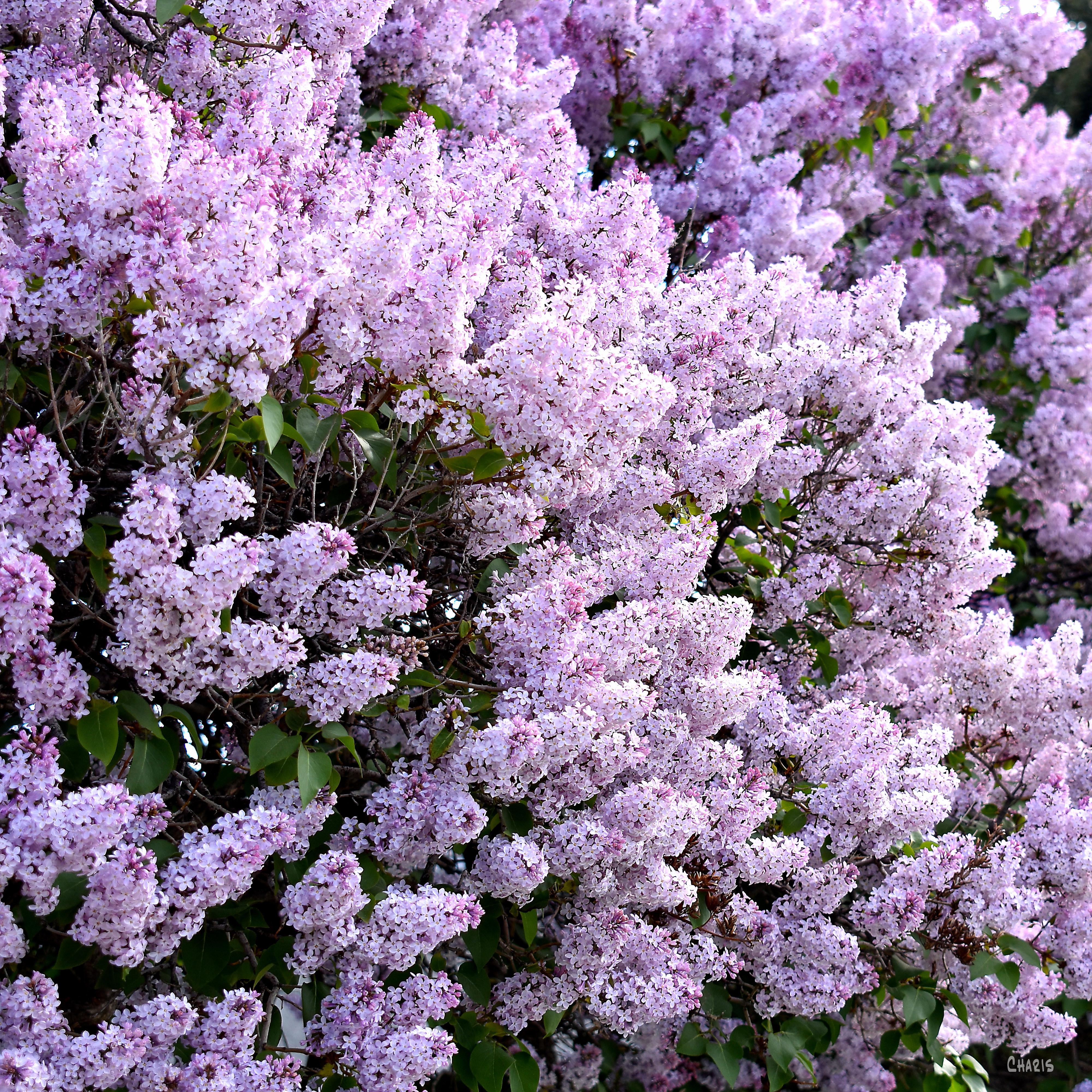 lilac mass sq ch DSC_0018
