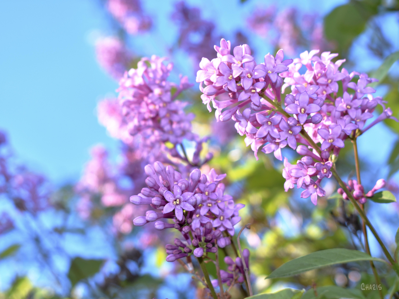 lilac sky DSC_0037