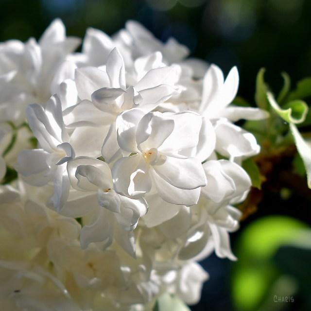 lilac white sun sq ch DSC_0022