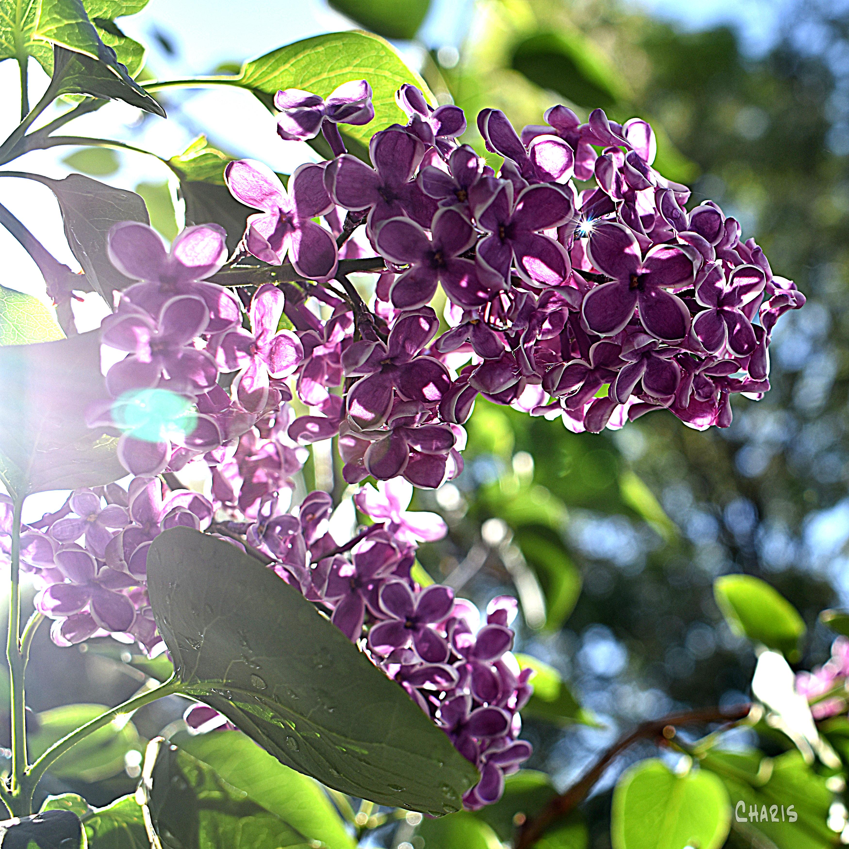 lilacs dark purple dq ch crop DSC_0005 (2)