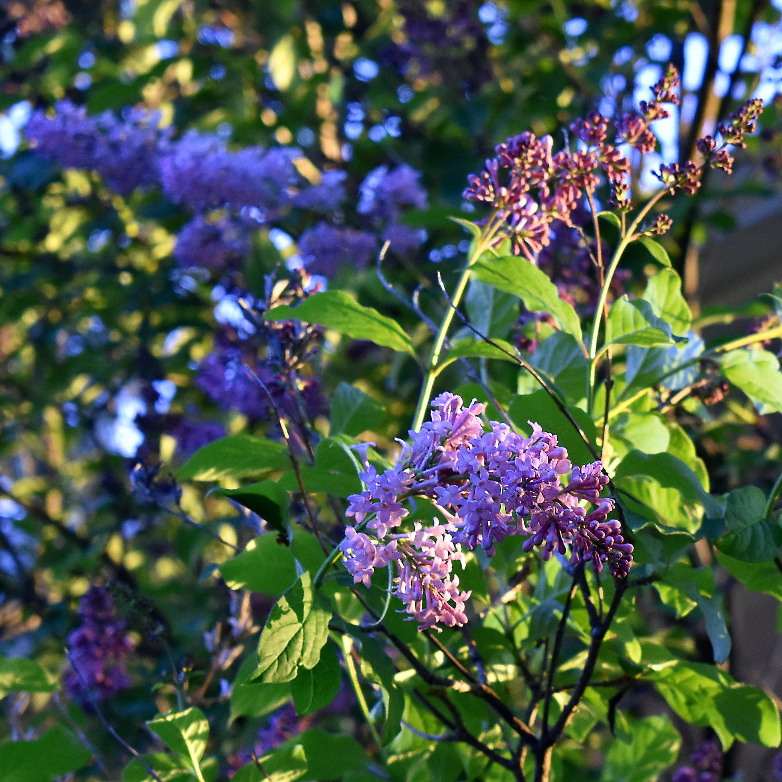 lilacs evening sq DSC_0016