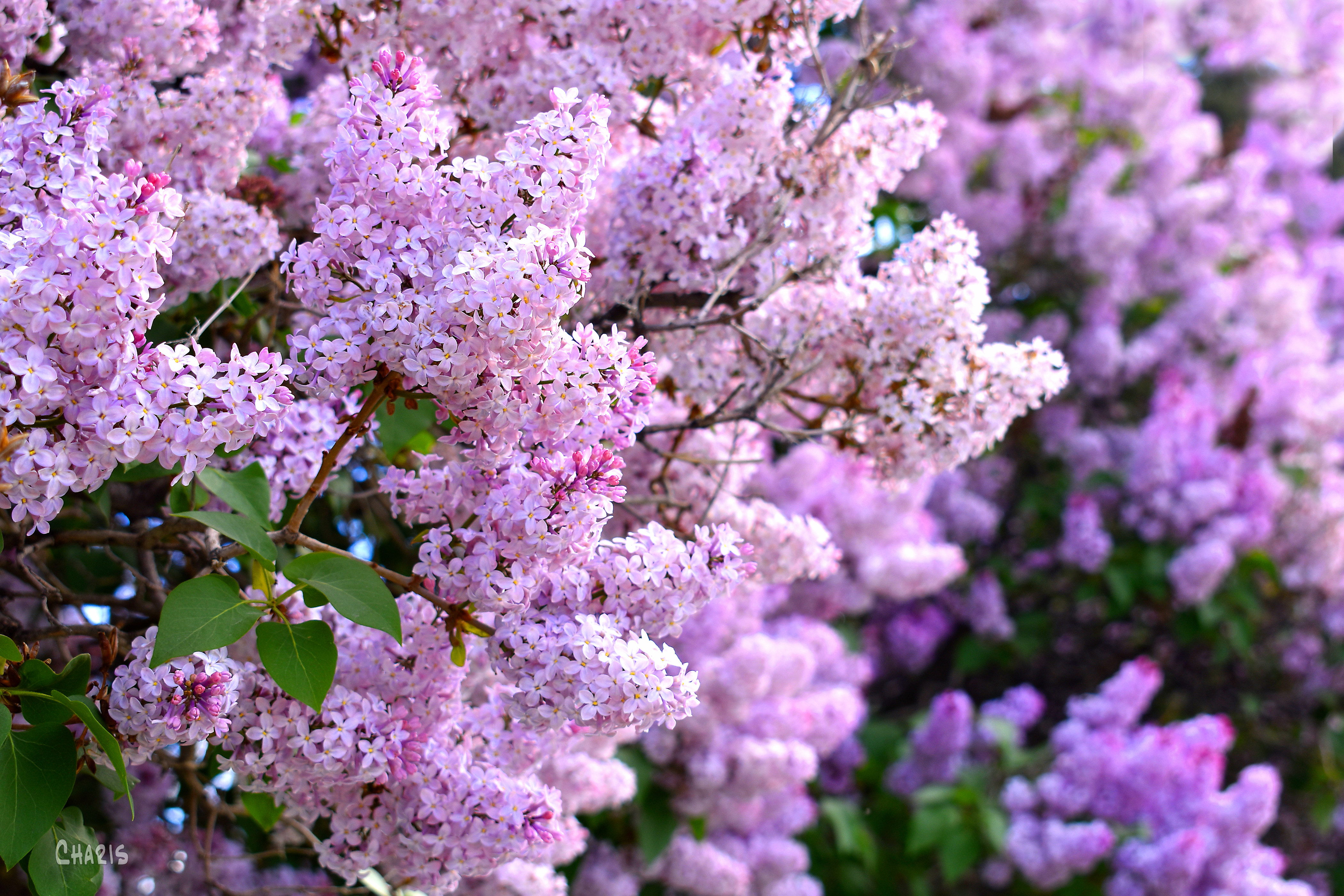 lilacs pink purple rs ch DSC_0019
