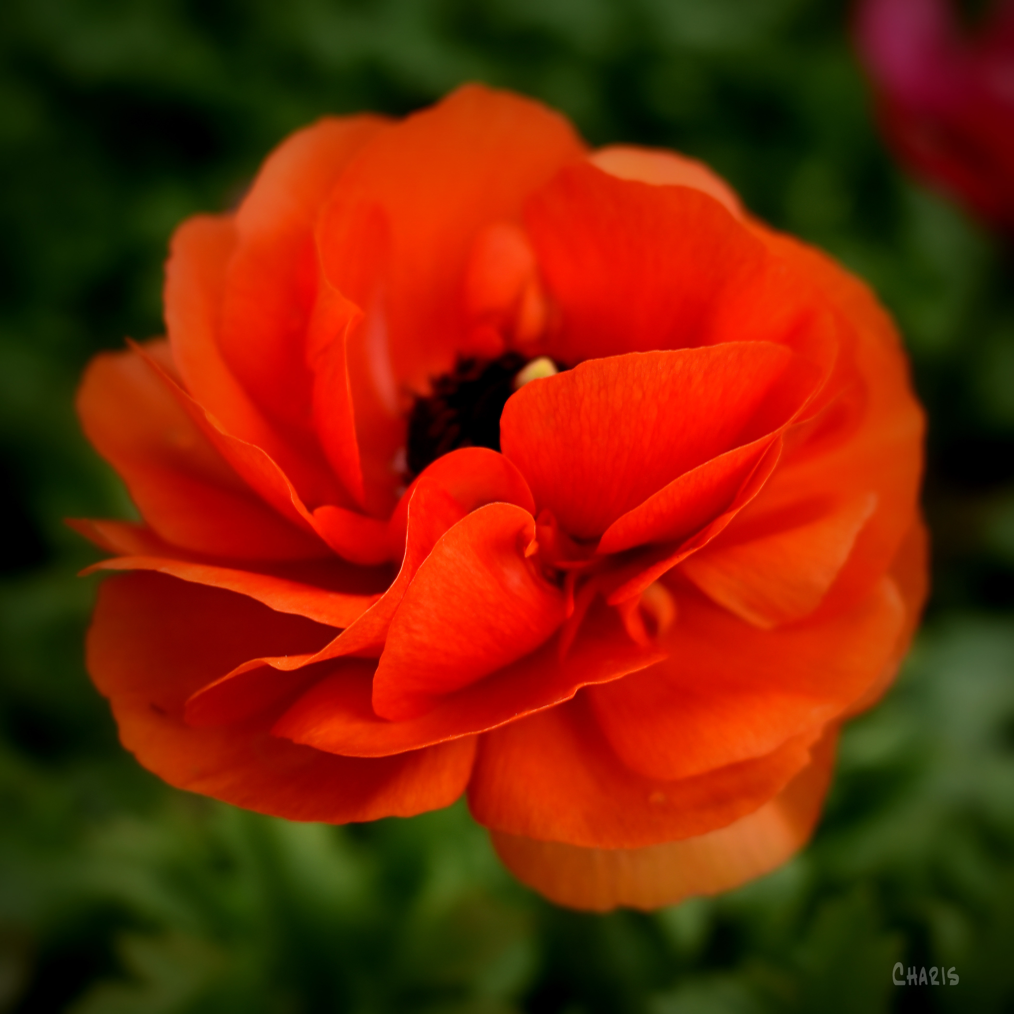 red flower rununculata sq vignette ch crop DSC_0132